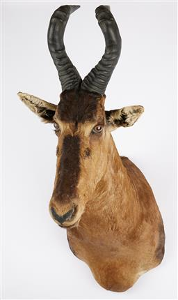 Sale 9199J - Lot 19 - A taxidermy red hartebeest shoulder mount, Height 120cm