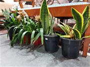 Sale 8769 - Lot 1054 - Collection of Small Indoor Plants