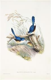 Sale 9038 - Lot 584 - John Gould (1804 - 1881) - Malurus Hypoleucus, 1848 45.5 x 29 cm (frame: 78 x 59 x 2 cm)