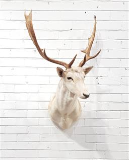 Sale 9151 - Lot 1077 - Taxidermy stag head (h114 x d51cm)