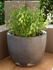 Sale 8741A - Lot 4 - A pair of grey pots planted with Euphorbia, H x 37cm, Diameter 45cm