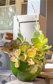 Sale 8741A - Lot 2 - A green glazed pot planted with flapjack H x 25cm, D x 35cm
