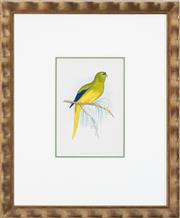 Sale 9005H - Lot 24 - An Orange Bellied Parakeet hand coloured Lithograph in a gilt frame, frame size 48cm x 40cm