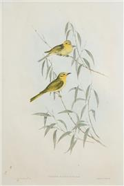 Sale 8491 - Lot 2033 - John Gould (1804 - 1881) - Ptilotis Flavescens 51.5 x 34cm (frame: 78.5 x 59.5cm)