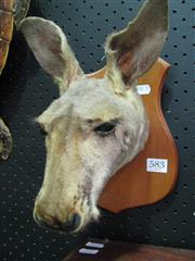 Sale 8331A - Lot 583 - Kangaroo Head - trophy mount