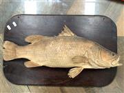 Sale 9092 - Lot 1091A - Vintage mounted murray cod (h:37 x w:59cm)