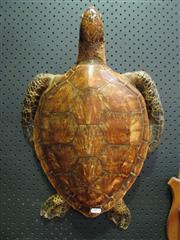 Sale 8331A - Lot 588 - Antique Taxidermy Sea Turtle, small