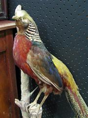 Sale 8331A - Lot 577 - Taxidermy Pheasant on Branch