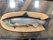 Sale 9092 - Lot 1096A - Mounted Australian salmon (h:37 x w:88cm)