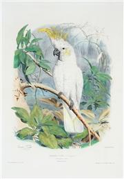 Sale 8867 - Lot 600 - Edouard Travies (1809 - 1865) - Kakatoes a Crete (Sulphur Crested Cockatoo) 50.5 x 34.5 cm