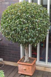Sale 8575H - Lot 91 - A square form terracotta planter, potted with a mature ficus H of ficus: 180cm Pot H: 30cm W: 30cm D: 30cm
