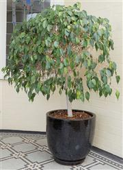 Sale 8575H - Lot 9 - A pair of circular black ceramic pots, planted with mature ficus H Pot: 48cm Diam at top: 52cm