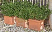 Sale 8575H - Lot 6 - Three square form terracotta planters, each potted with mature buxus H: 30cm W: 30cm D: 30cm