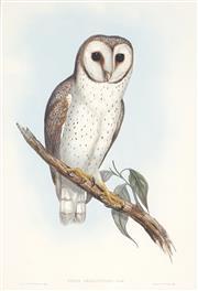 Sale 8867 - Lot 562 - After John Gould & H.C Richter - Strix Delicatulus (Delicate Owl) 49.5 x 34 cm