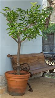 Sale 8745A - Lot 66 - A Large Planted Citrus Tree In Terra Cotta Pot, Overall Ht, 170 cm
