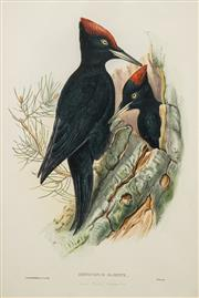 Sale 8519 - Lot 580 - John Gould (1804 - 1881) - Dryocopus Martius, Great Black Woodpecker 54.5 x 36.5cm