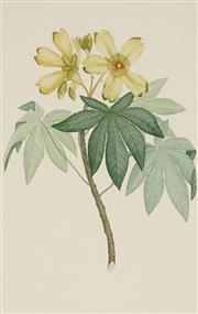 Sale 8870 - Lot 2053 - S. Parkinson & F.P.Nodder - Cochlospermum Gillivraei (Kapok Tree) 1770 (from Banks Florilegium) 46 x 29.5 cm