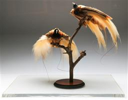 Sale 9138 - Lot 70 - Taxidermied Birds Of Paradise Perched On Branch In Display Case (Display case Size (H: 62cm W: 65cm D:50cm)