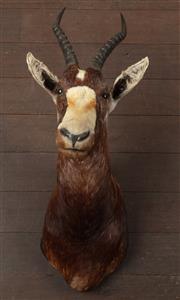 Sale 8871H - Lot 170 - A Blesbok head mount, Length on diagonal 89cm