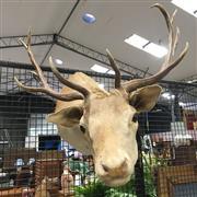 Sale 8758 - Lot 18 - Mounted Deer Head