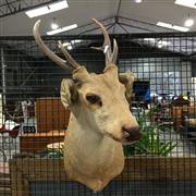 Sale 8758 - Lot 17 - Mounted Deer Head