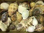 Sale 8638 - Lot 653 - Assortment of Shells