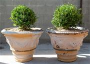 Sale 8745A - Lot 21 - A pair of antique French terracotta pots with plants, each H 50 x 50cm in diameter