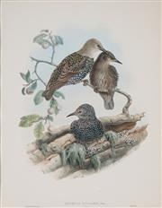 Sale 8896A - Lot 5058 - John Gould (1804 - 1881) - STURNUS VULGARIS (Common Starling) 49 x 34.5 cm