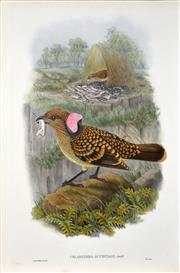Sale 8358 - Lot 595 - John Gould (1804 - 1881) - CHLAMYDERA OCCIPITALIS 54.5 x 37cm (sheet size)