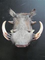 Sale 8431A - Lot 660A - Taxidermy Warthog