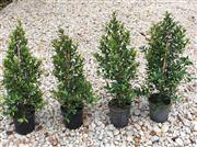 Sale 8706A - Lot 99 - A set of four established lilli pillis in plastic pot, H 100cm with plant