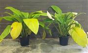 Sale 8959 - Lot 1042 - Pair of Peace Lilies (Tallest: 80cm)