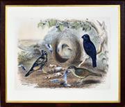 Sale 8363 - Lot 569 - John Gould (1804 - 1881) - PTILONORHYNCHUS HOLOSERICEUS: Satin Bower Birds, c1841 54 x 69.5cm
