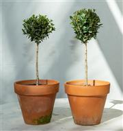 Sale 8745A - Lot 53 - A pair of small terracotta pots planted with topiary, each pot H 15 (not inc. plant) x 17cm in diameter