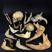 Sale 8567 - Lot 671 - Assortment of Various Skulls and Bones
