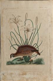 Sale 9055A - Lot 5076 - Mark Catesby (1683 - 1749) - The American Partridge, The Attamusco Lily (Appendix Pl. 12) 53.5 x 35.5 cm (sheet)