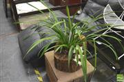 Sale 8392 - Lot 1094 - Two Spike Orchid in Hollow Log