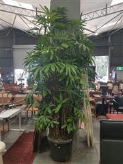 Sale 8676 - Lot 1125 - Large Rhapis Palm (Approx. 3m Tall)