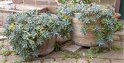 Sale 9070H - Lot 8 - Two potted succulents in concrete planters, Larger Diameter 53cm x Height 37cm