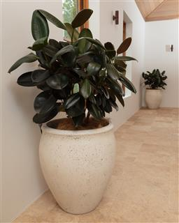 Sale 9134H - Lot 56 - A pair of large Terrazzo planters, planted with rubber plants, height 65 x diameter 52cm