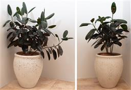 Sale 9134H - Lot 60 - A pair of large Terrazzo planters, planted with rubber plants, Height 65 x Diameter 52cm