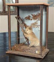Sale 8871H - Lot 78 - A very rare cased taxidermy baby koala, circa 1910s, Height 47cm, Width 37cm, Depth 24cm