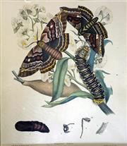 Sale 8655A - Lot 5008 - Harriet Scott (1830 - 1907) - CHELEPTERYX COLLESI: Plate 7 from A. W. Scotts Australian Lepidoptera, 1864 35.5 x 30.5cm