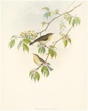Sale 8773A - Lot 5008 - John Gould (1804 - 1881) - PHYLLOPNEUSE RUFA: Chiff-Chaff 45 x 35cm