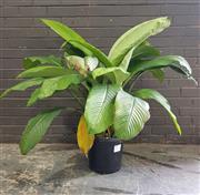 Sale 8959 - Lot 1099 - A Single Peace Lily (H: 120cm)